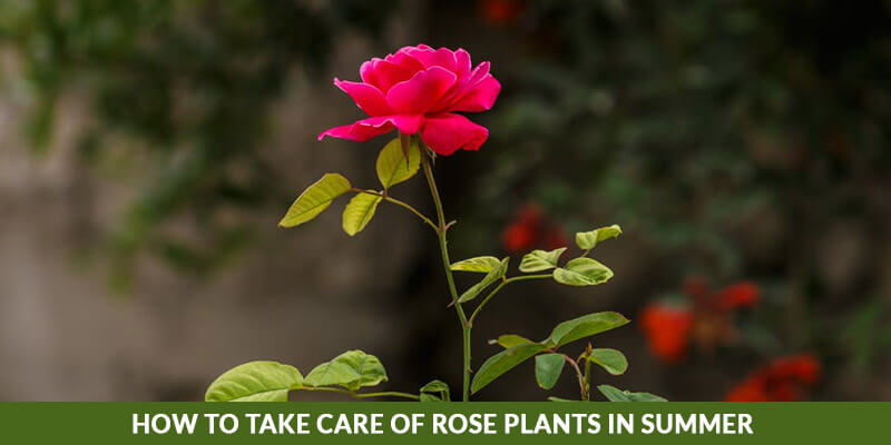 How To Take Care Of Rose Plants In Summer