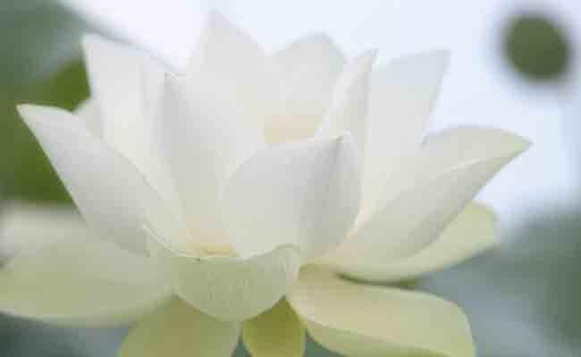 Jasmine flowers in India