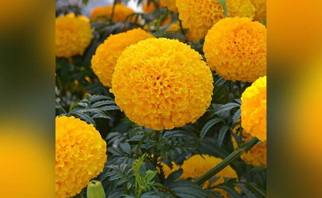 Marigold as Summer Flowers