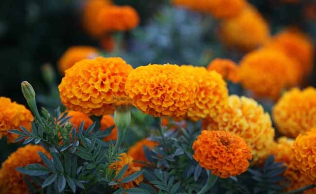 Marigold flowers in India