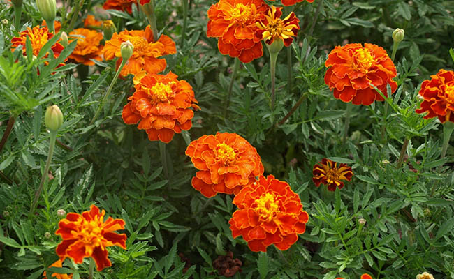 Marigold Winter Flowers