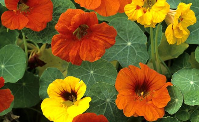 Nasturtium as Summer Flowers