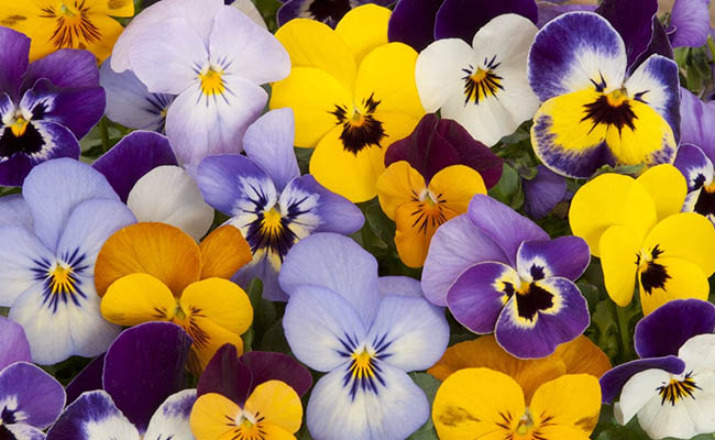 Pansy Winter Flowers