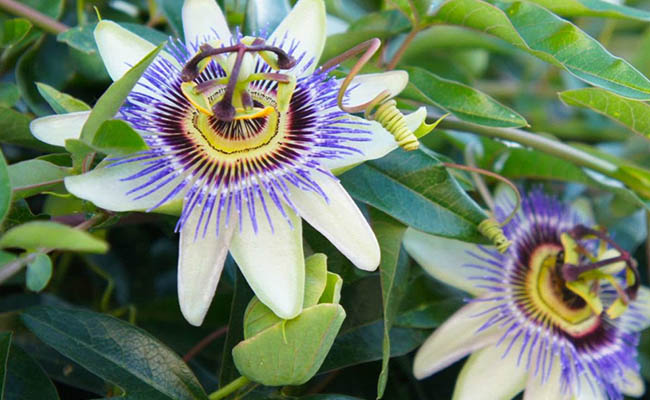 Passion flowers Winter Flowers