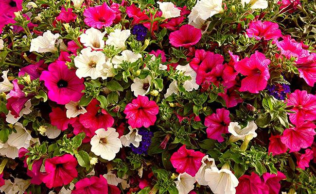 Petunia Winter Flowers