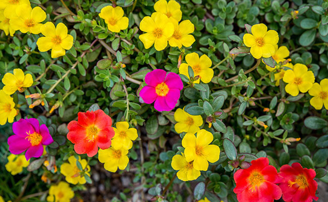 Portulaca as Summer Flowers