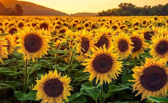 Sunflower as Summer Flowers
