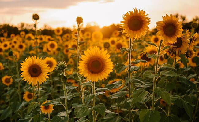 Sunflower Represents Love