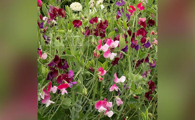 Sweet Pea Winter Flowers