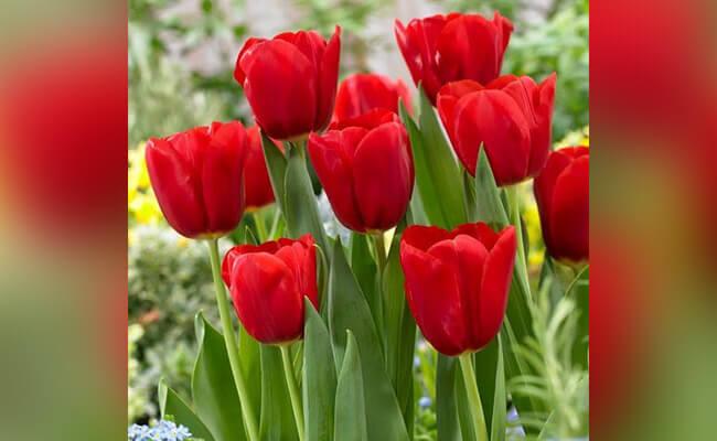 Tulip Represents Love