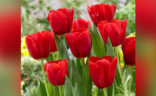 Tulips for Lover