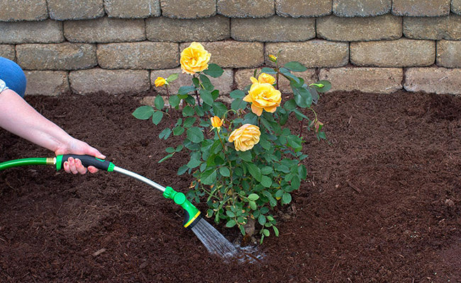 Watering Care For Roses In Summer