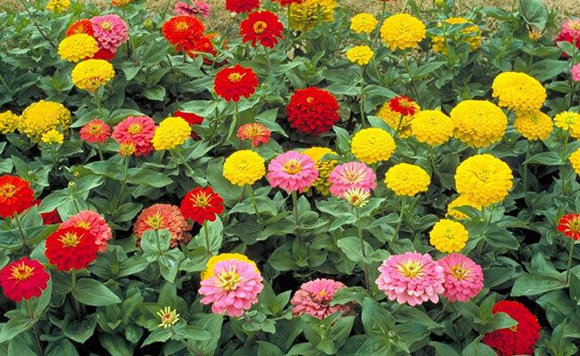 Zinnia as Summer Flowers