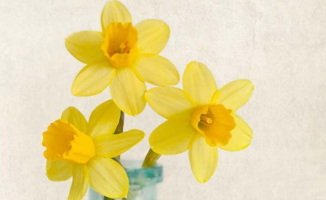 daffodil facts