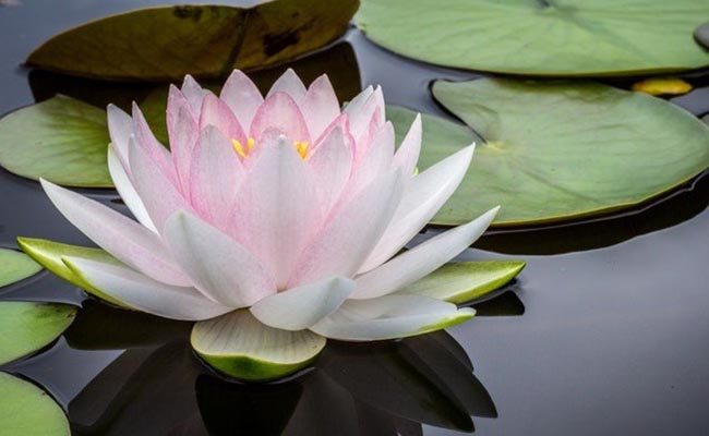 Best Climate And Water Conditions For Lotus Flower