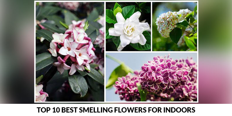Top 10 best smelling flowers for indoors