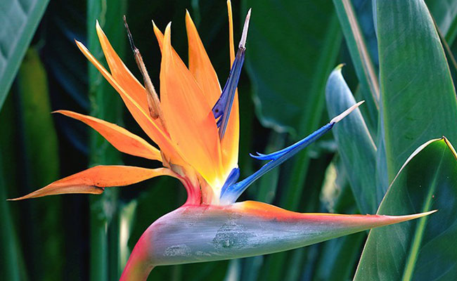Bird of Paradise Most Beautiful Flowers In The World