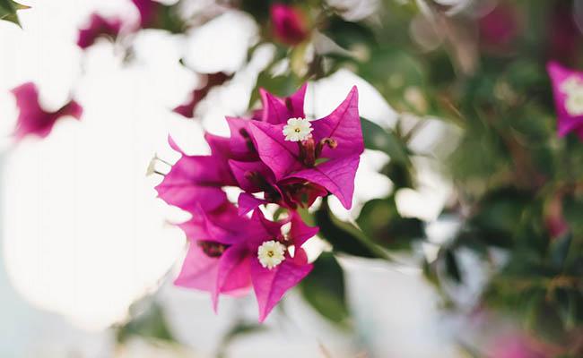 Bougainvillea Allergic Flowers