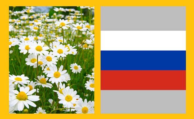 Camomile – Russia