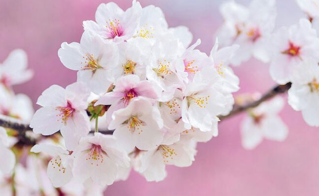 Cherry Blossom Most Beautiful Flowers In The World