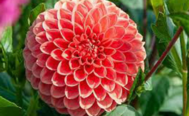Dahlia Most Beautiful Flowers In The World
