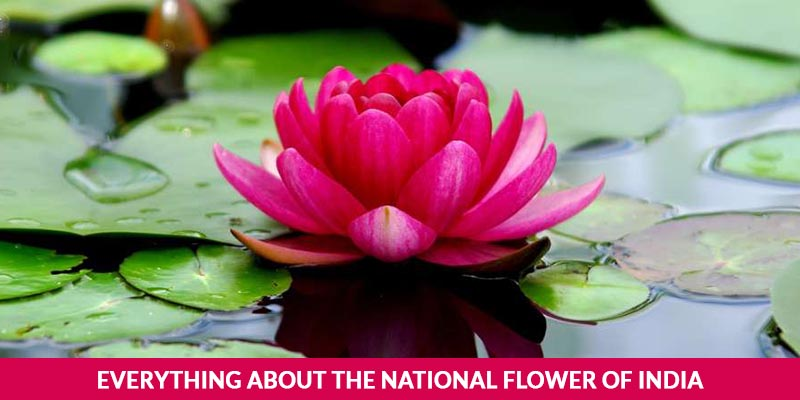 Everything About The National Flower Of India