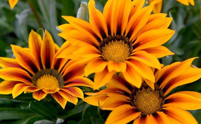 Gazania Most Beautiful Flowers In The World