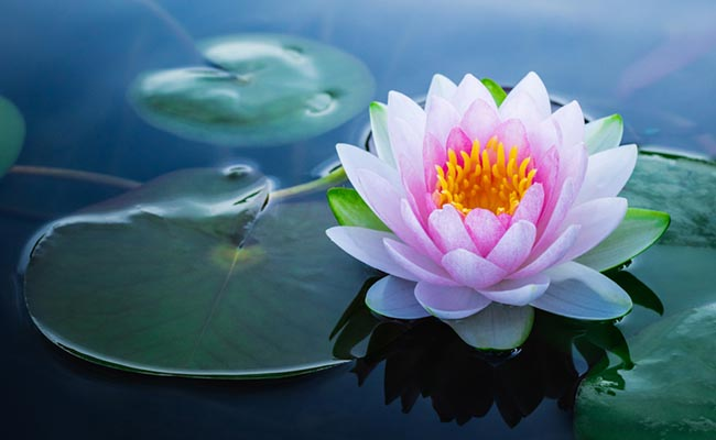 How To Grow A Lotus Flower