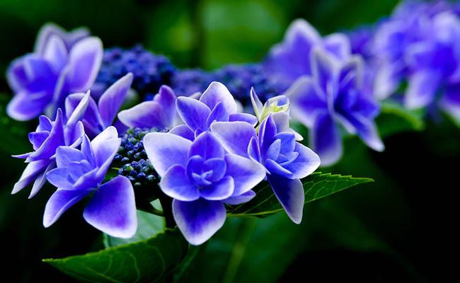 Hydrangea macrophylla Allergic Flowers