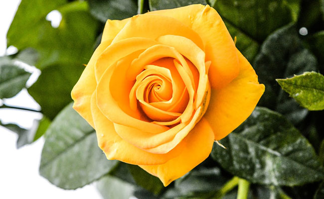 History And Meaning Of Yellow Roses