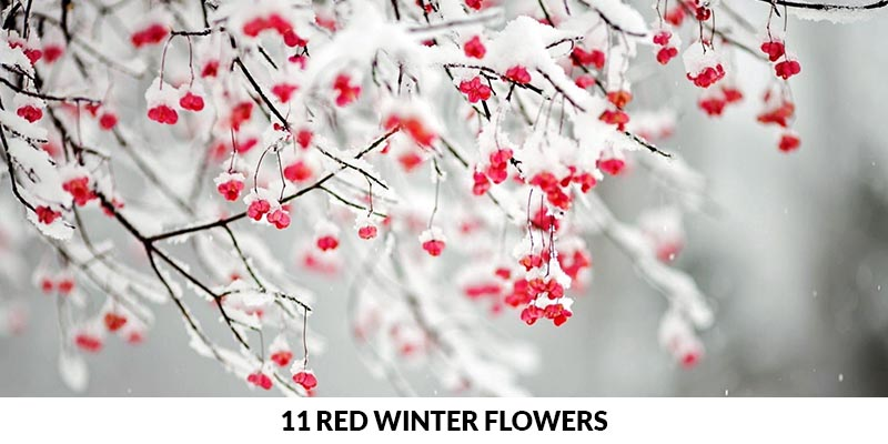 Red Winter Flowers