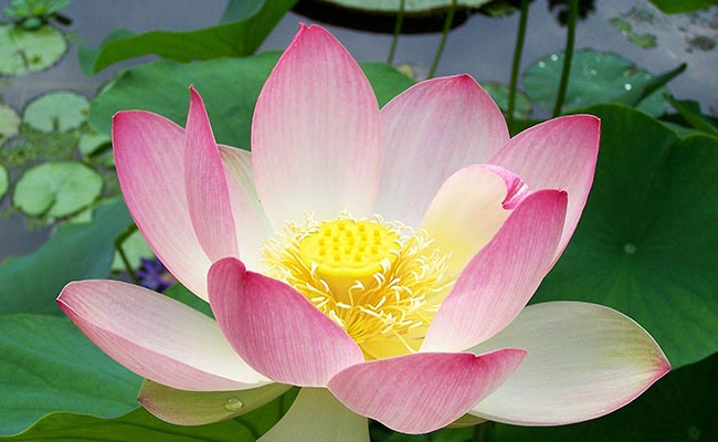 Significance Of Lotus Flower