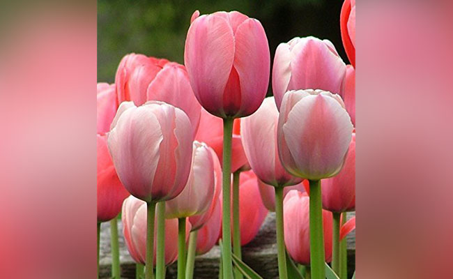 Tulip Most Beautiful Flowers In The World