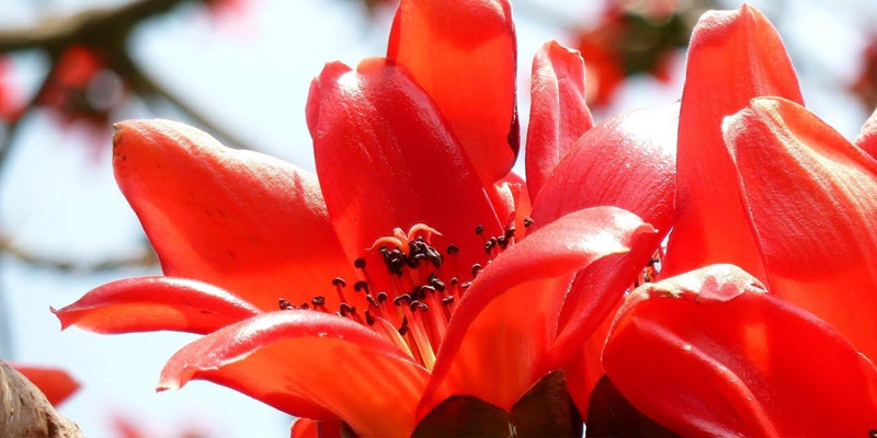 How is Palash Flower Related to Holi