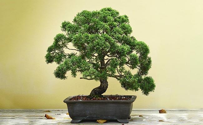 A Bonsai Tree