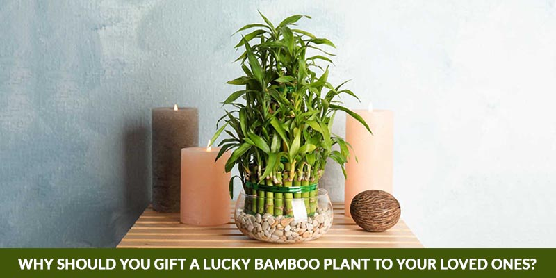 Why Should You Gift a Lucky Bamboo Plant To Your Loved Ones