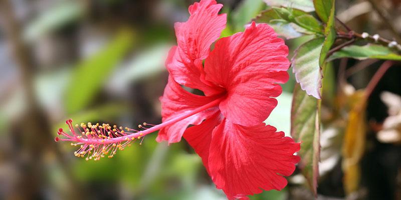 Health Benefits of Hibiscus Flower