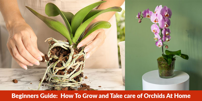 How To Grow and Take care of Orchids At Home