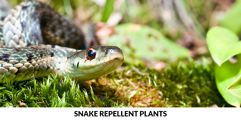 Keep The Snakes Away With Natural Snake Repellents
