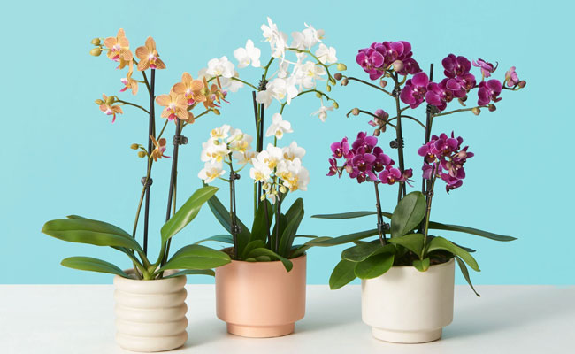 Which orchids are good for Beginners
