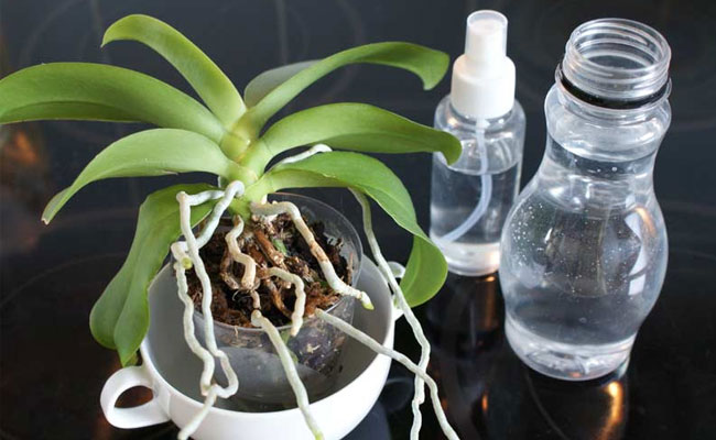 Watering Orchid