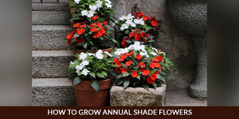 How to Grow Annual Shade Flowers