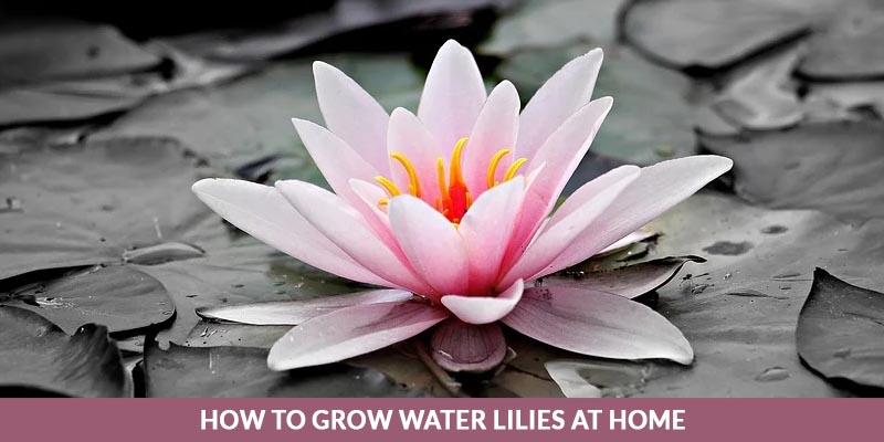 How to Grow Water Lilies at Home