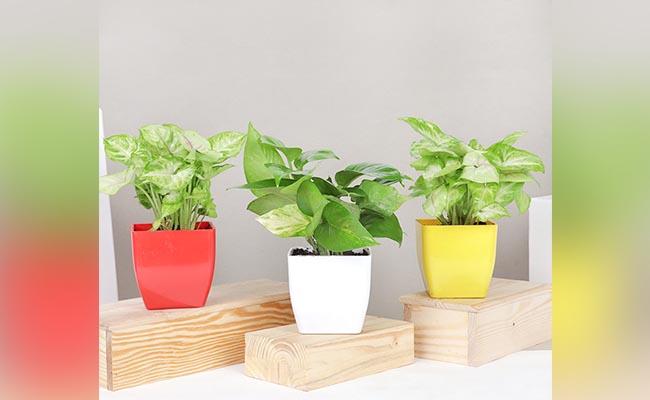 Three Money Plants Combo