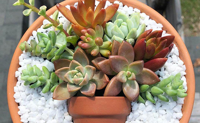 Succulent Plant for Mothers Day
