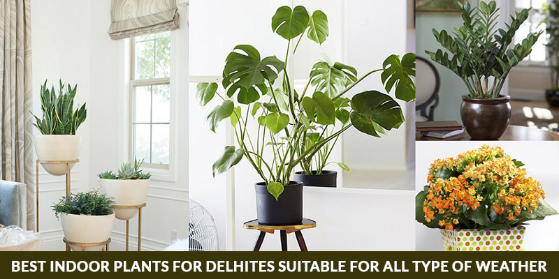 Best Indoor Plants for Delhites Suitable for All type of Weather