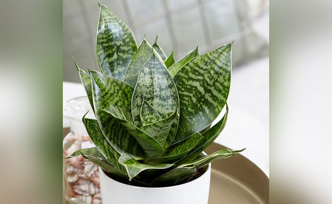 How to water and take care of Sansevieria plants