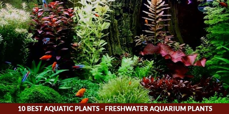 10 Best Aquatic Plants - Freshwater Aquarium Plants