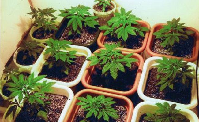 Myth: Bigger Pots Yields Bigger Plants
