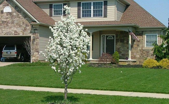 Jack Dwarf Flowering Pear